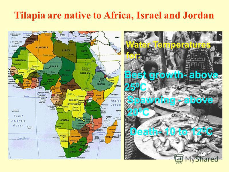 Water Temperatures for: Tilapia are native to Africa, Israel and Jordan Best growth- above 25 0 C Spawning - above 20 0 C Death- 10 to 12 0 C