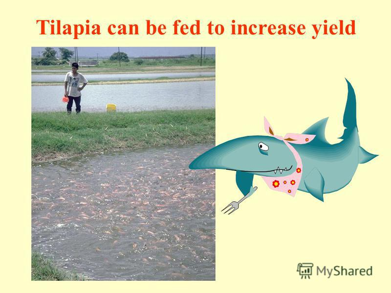 Tilapia can be fed to increase yield