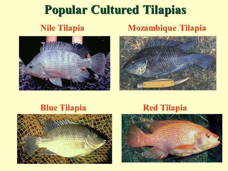 Nile TilapiaMozambique Tilapia Blue TilapiaRed Tilapia Popular Cultured Tilapias