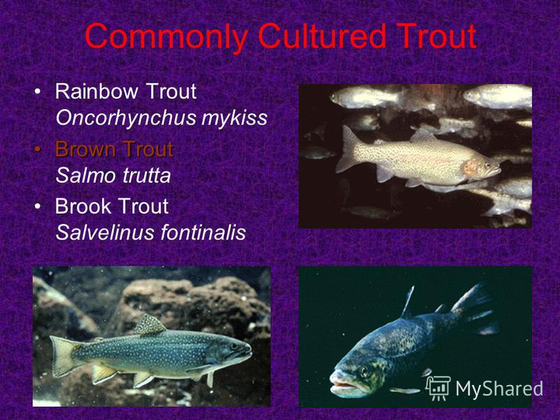 Commonly Cultured Trout Rainbow Trout Oncorhynchus mykiss Brown TroutBrown Trout Salmo trutta Brook Trout Salvelinus fontinalis