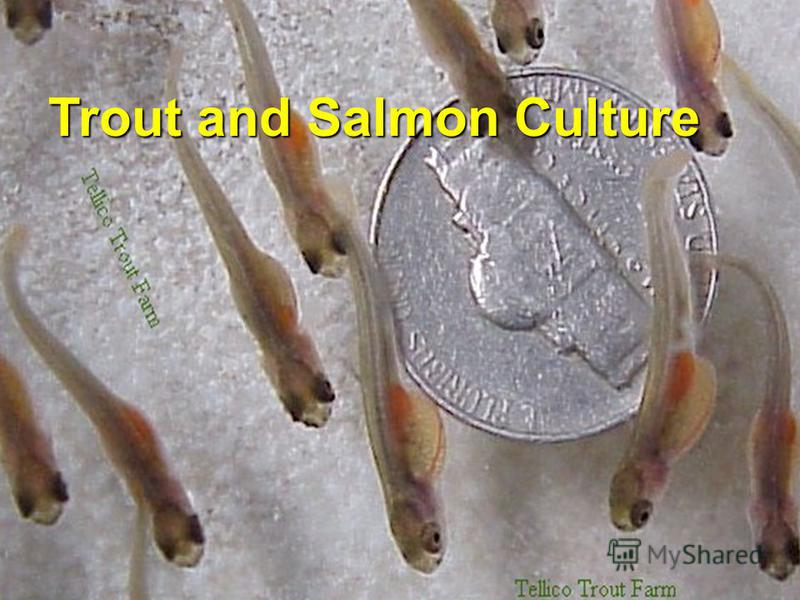 Trout and Salmon Culture