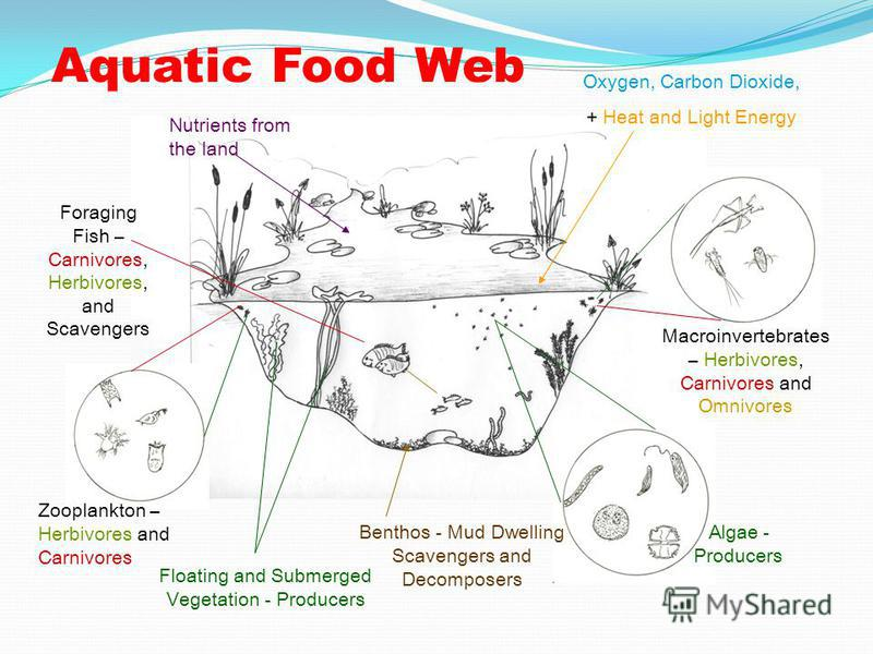 Aquatic Food Web Algae - Producers Benthos - Mud Dwelling Scavengers and Decomposers Zooplankton – Herbivores and Carnivores Macroinvertebrates – Herbivores, Carnivores and Omnivores Foraging Fish – Carnivores, Herbivores, and Scavengers Floating and