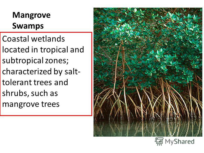 Mangrove Swamps Coastal wetlands located in tropical and subtropical zones; characterized by salt- tolerant trees and shrubs, such as mangrove trees