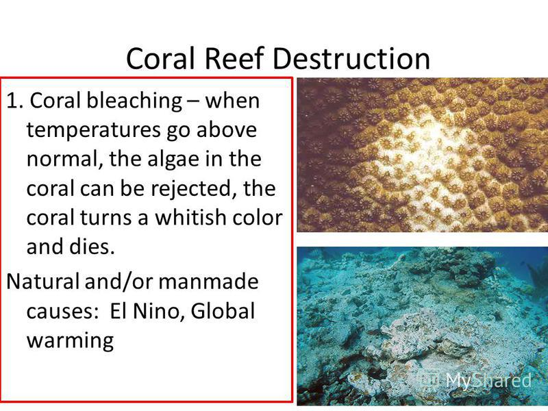 Coral Reef Destruction 1. Coral bleaching – when temperatures go above normal, the algae in the coral can be rejected, the coral turns a whitish color and dies. Natural and/or manmade causes: El Nino, Global warming