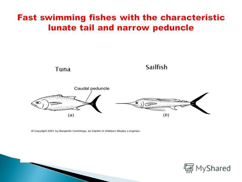 Tuna Sailfish