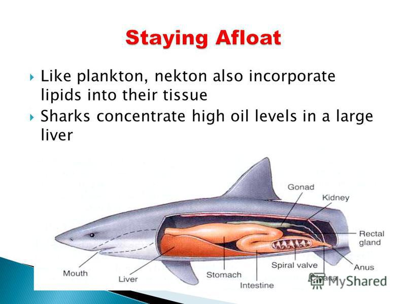 Like plankton, nekton also incorporate lipids into their tissue Sharks concentrate high oil levels in a large liver