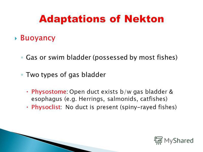Buoyancy Gas or swim bladder (possessed by most fishes) Two types of gas bladder Physostome: Open duct exists b/w gas bladder & esophagus (e.g. Herrings, salmonids, catfishes) Physoclist: No duct is present (spiny-rayed fishes)