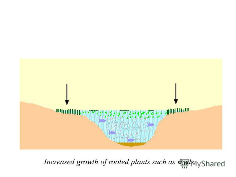 Increased growth of rooted plants such as reeds.