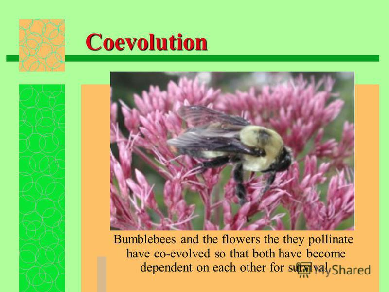 Coevolution Bumblebees and the flowers the they pollinate have co-evolved so that both have become dependent on each other for survival.