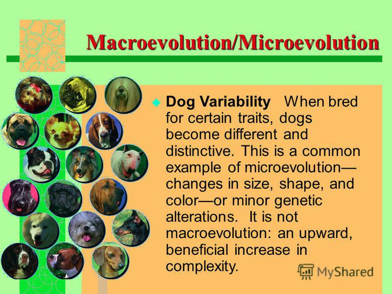 Dog Variability When bred for certain traits, dogs become different and distinctive. This is a common example of microevolution changes in size, shape, and coloror minor genetic alterations. It is not macroevolution: an upward, beneficial increase in