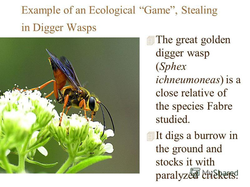 Example of an Ecological Game, Stealing in Digger Wasps 4 The great golden digger wasp (Sphex ichneumoneas) is a close relative of the species Fabre studied. 4 It digs a burrow in the ground and stocks it with paralyzed crickets.