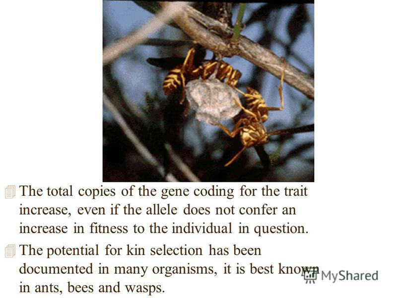 4 The total copies of the gene coding for the trait increase, even if the allele does not confer an increase in fitness to the individual in question. 4 The potential for kin selection has been documented in many organisms, it is best known in ants,