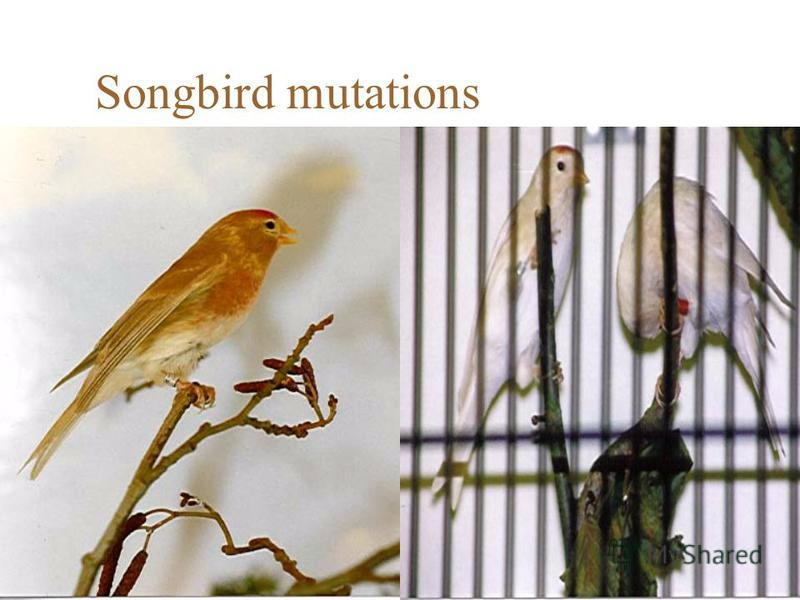 Songbird mutations
