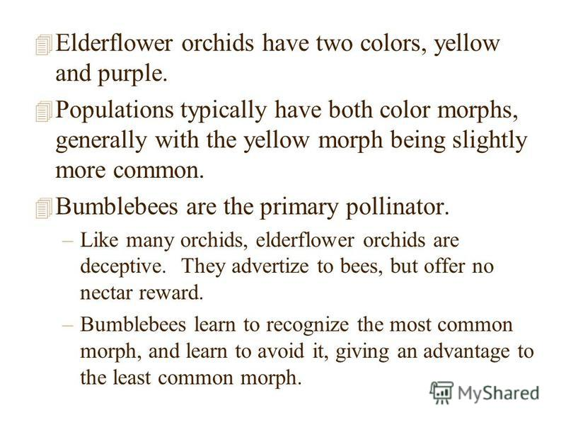 4 Elderflower orchids have two colors, yellow and purple. 4 Populations typically have both color morphs, generally with the yellow morph being slightly more common. 4 Bumblebees are the primary pollinator. –Like many orchids, elderflower orchids are