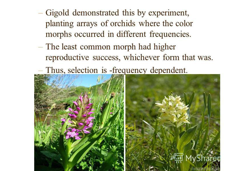 –Gigold demonstrated this by experiment, planting arrays of orchids where the color morphs occurred in different frequencies. –The least common morph had higher reproductive success, whichever form that was. –Thus, selection is -frequency dependent.