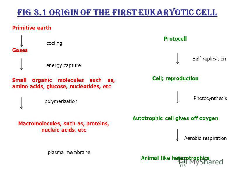 Fig 3.1 Origin of the first eukaryotic cell Primitive earth cooling Gases energy capture Small organic molecules such as, amino acids, glucose, nucleotides, etc polymerization Macromolecules, such as, proteins, nucleic acids, etc plasma membrane Prot