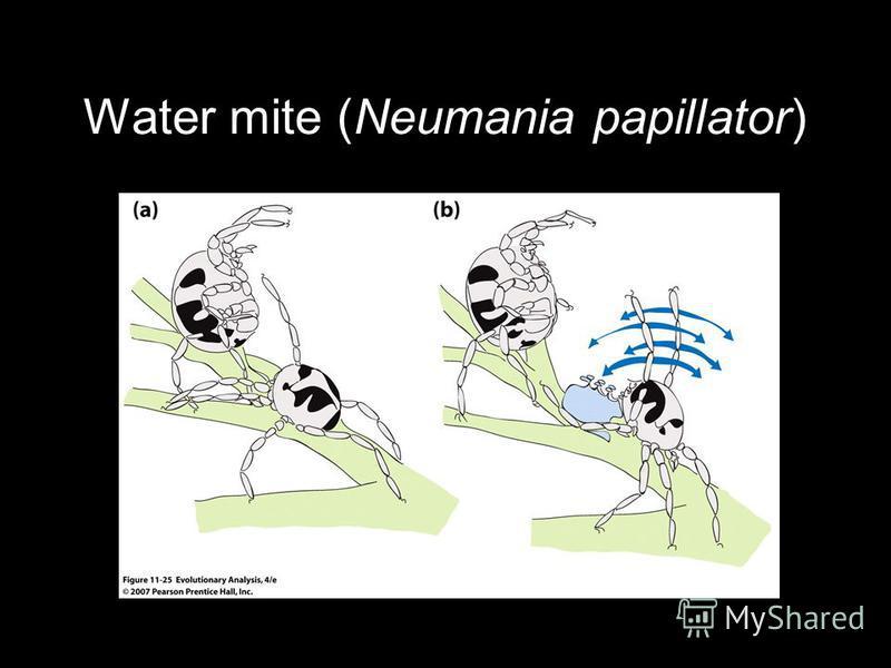 Water mite (Neumania papillator)