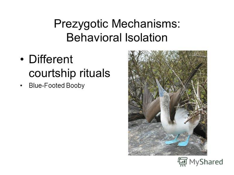 Prezygotic Mechanisms: Behavioral Isolation Different courtship rituals Blue-Footed Booby