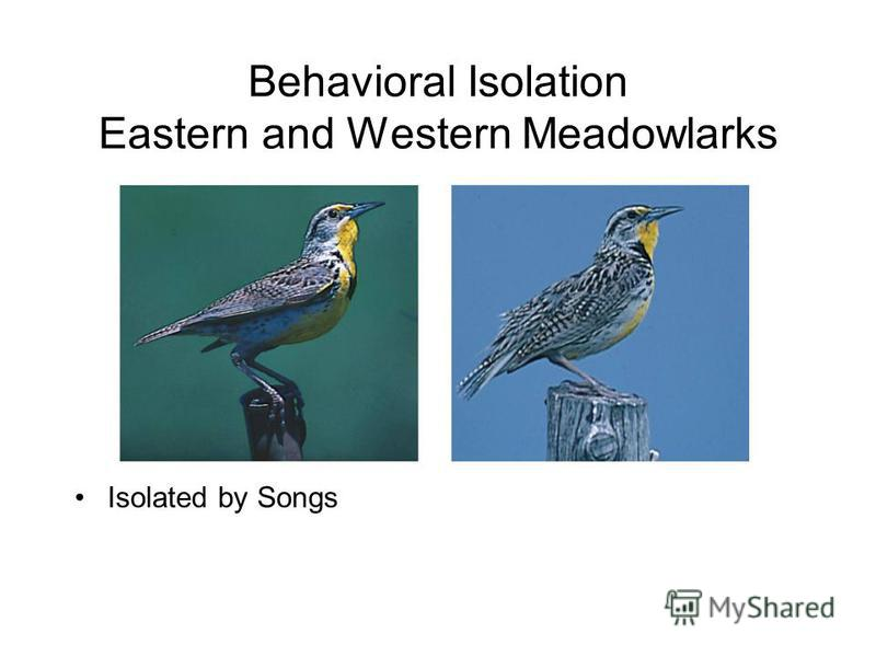 Behavioral Isolation Eastern and Western Meadowlarks Isolated by Songs