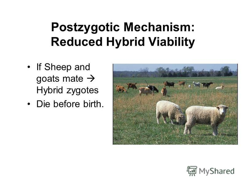 Postzygotic Mechanism: Reduced Hybrid Viability If Sheep and goats mate Hybrid zygotes Die before birth.