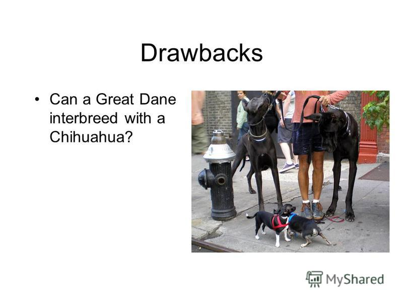 Drawbacks Can a Great Dane interbreed with a Chihuahua?