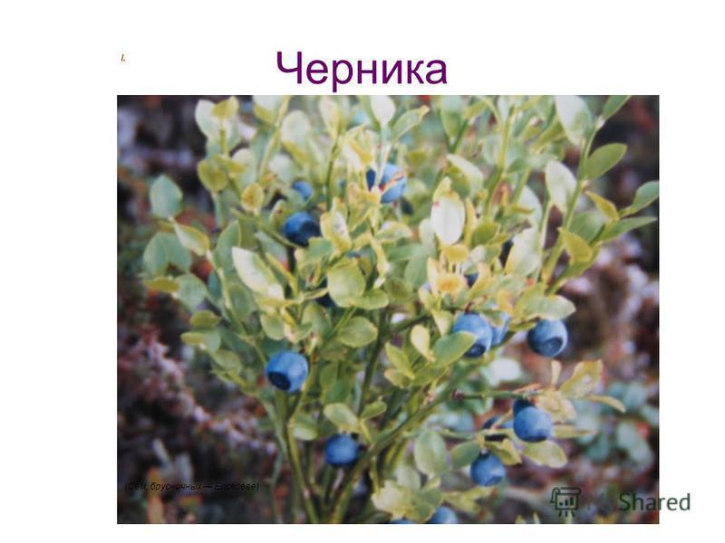 Черника l. (Сем. брусничных Ericaceae)