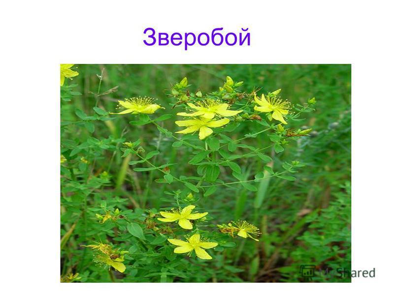 Зверобой Зверобой обыкновенный hypericum perforatum l.