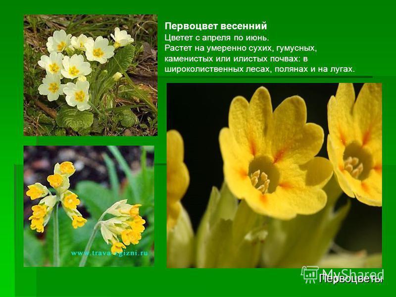 Первоцветы Первоцвет весенний Цветет с апреля по июнь. Растет на умеренно сухих, гумусных, каменистых или илистых почвах: в широколиственных лесах, полянах и на лугах.