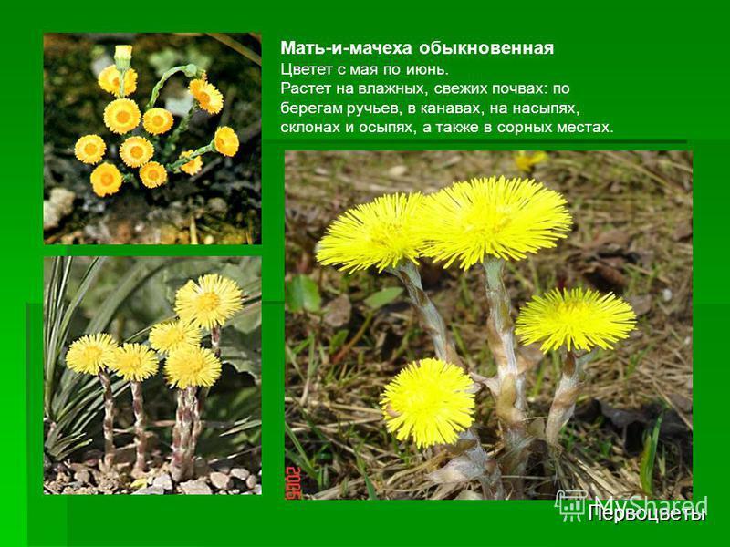 Первоцветы Мать-и-мачеха обыкновенная Цветет с мая по июнь. Растет на влажных, свежих почвах: по берегам ручьев, в канавах, на насыпях, склонах и осыпях, а также в сорных местах.