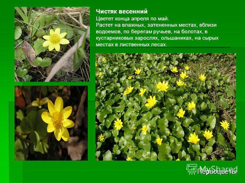 Первоцветы Чистяк весенний Цветет конца апреля по май. Растет на влажных, затененных местах, вблизи водоемов, по берегам ручьев, на болотах, в кустарниковых зарослях, ольшаниках, на сырых местах в лиственных лесах.