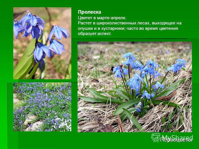 Первоцветы Пролеска Цветет в марте-апреле. Растет в широколиственных лесах, выходящее на опушки и в кустарники; часто во время цветения образует аспект.