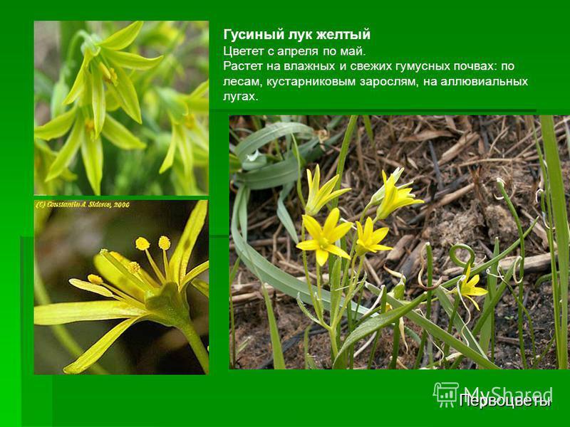 Первоцветы Гусиный лук желтый Цветет с апреля по май. Растет на влажных и свежих гумусных почвах: по лесам, кустарниковым зарослям, на аллювиальных лугах.