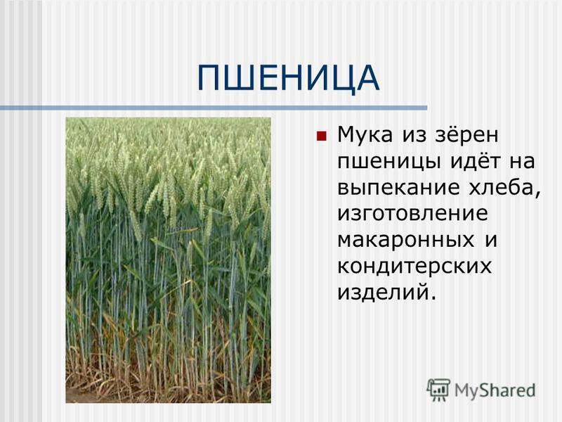 ПШЕНИЦА Мука из зёрен пшеницы идёт на выпекание хлеба, изготовление макаронных и кондитерских изделий.