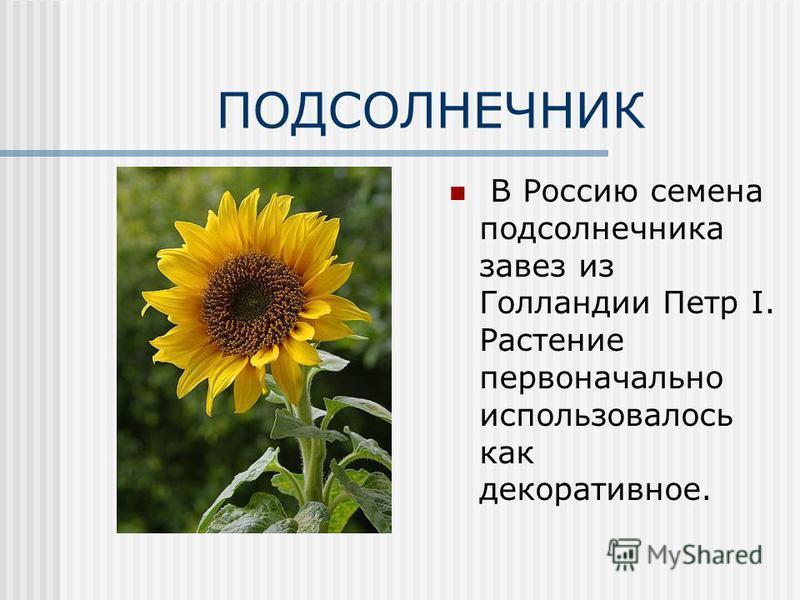 ПОДСОЛНЕЧНИК В Россию семена подсолнечника завез из Голландии Петр I. Растение первоначально использовалось как декоративное.