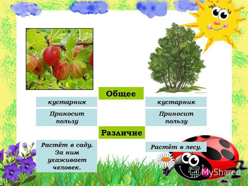 Общее кустарник Приносит пользу Различие Растёт в саду. За ним ухаживает человек. Растёт в лесу.