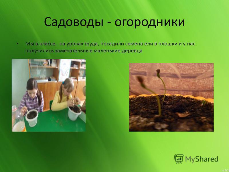 Садоводы - огородники Мы в классе, на уроках труда, посадили семена ели в плошки и у нас получились замечательные маленькие деревца