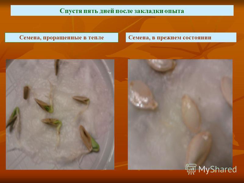 Семена, проращенные в тепле Семена, в прежнем состоянии Спустя пять дней после закладки опыта