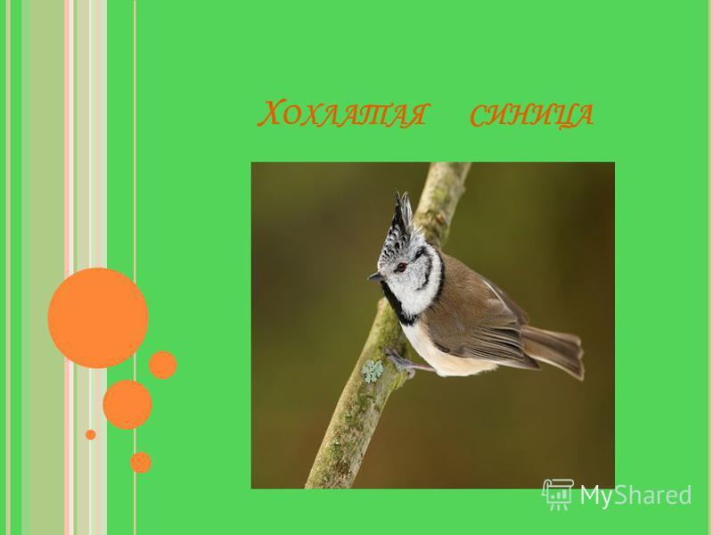 На сучок присела пташка – Светло-серая рубашка: Тихо песенка журчит, Надо лбом хохол торчит.