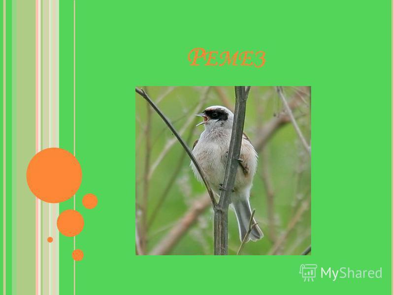 У гнезда сидит синичка, А гнездо – как рукавичка. Пташка домик подвесной Над водой сплела весной.