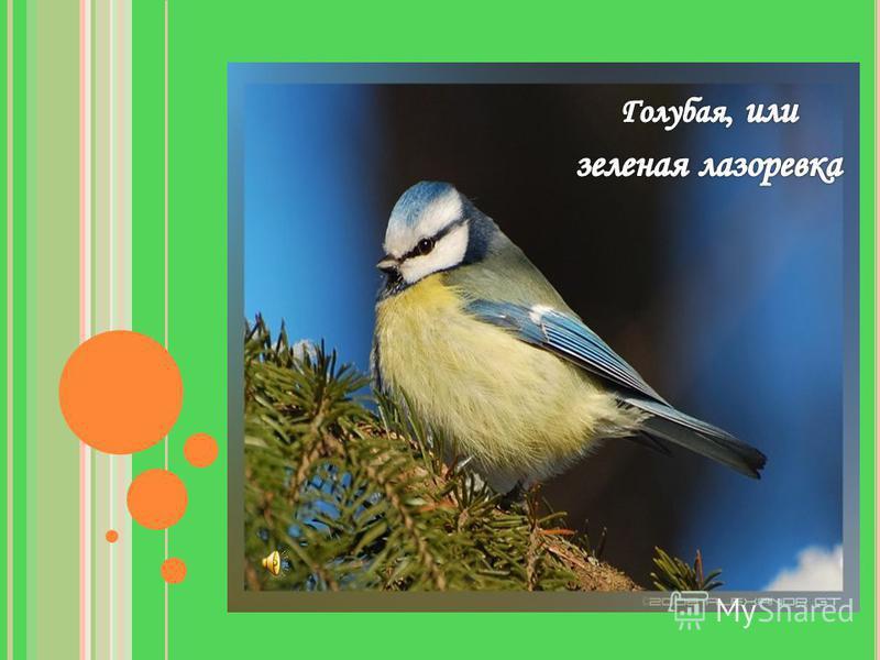 У какой птицы на голове голубая шапочка?