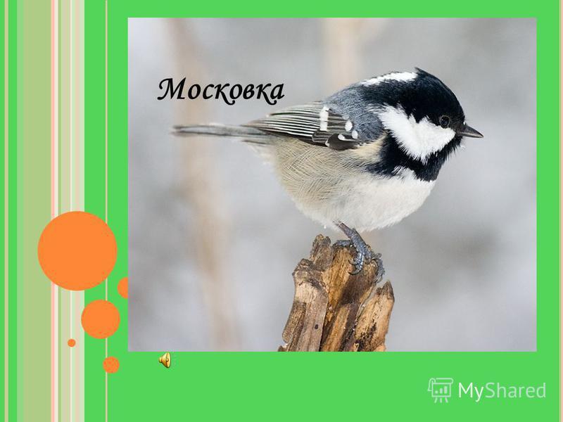 У какой птицы есть белое пятнышко на затылке?