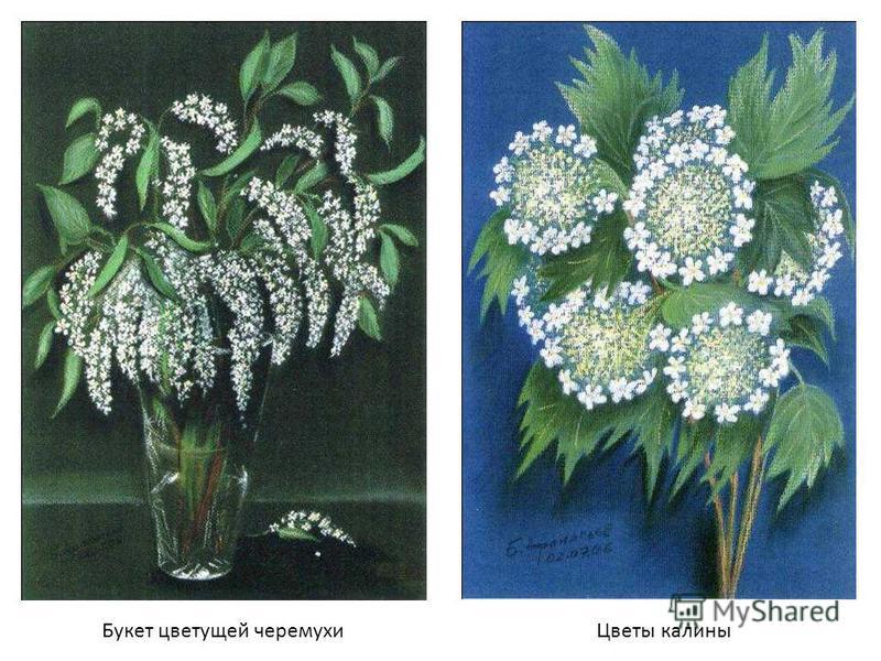 Букет цветущей черемухи Цветы калины