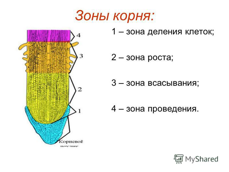 Зоны корня: 1 – зона деления клеток; 2 – зона роста; 3 – зона всасывания; 4 – зона проведения.