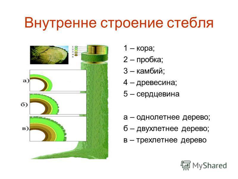 Внутренне строение стебля 1 – кора; 2 – пробка; 3 – камбий; 4 – древесина; 5 – сердцевина а – однолетнее дерево; б – двухлетнее дерево; в – трехлетнее дерево