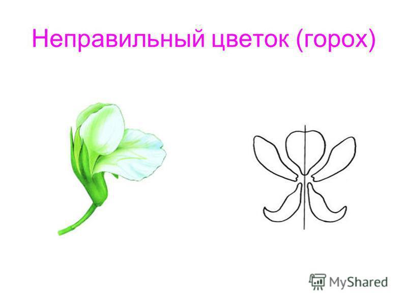 Неправильный цветок (горох)