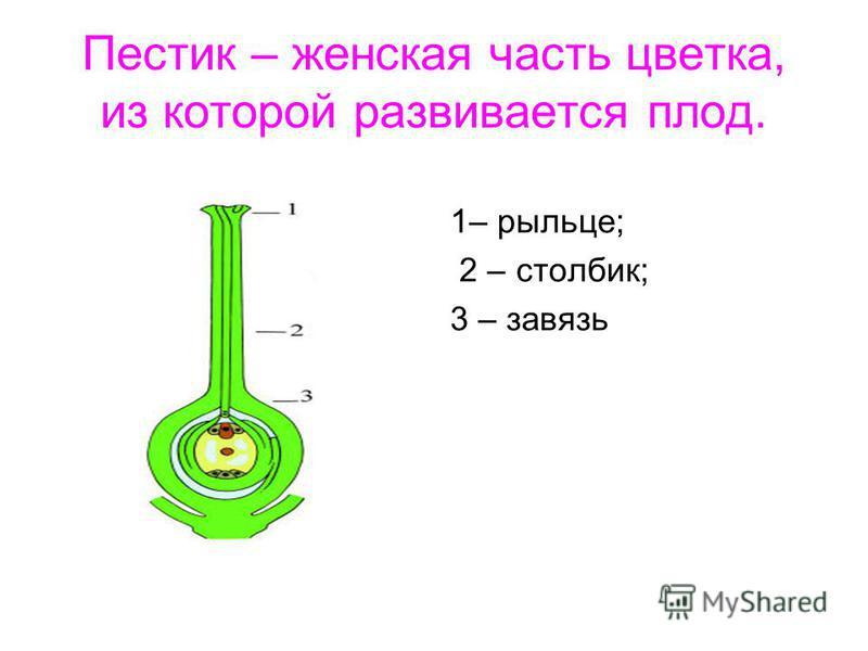 Пестик – женская часть цветка, из которой развивается плод. 1– рыльце; 2 – столбик; 3 – завязь