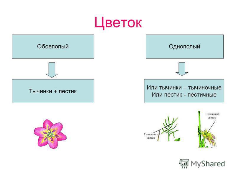 Цветок Обоеполый Однополый Тычинки + пестик Или тычинки – тычиночные Или пестик - пестичные