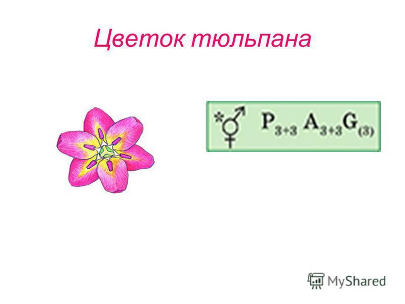 Цветок тюльпана