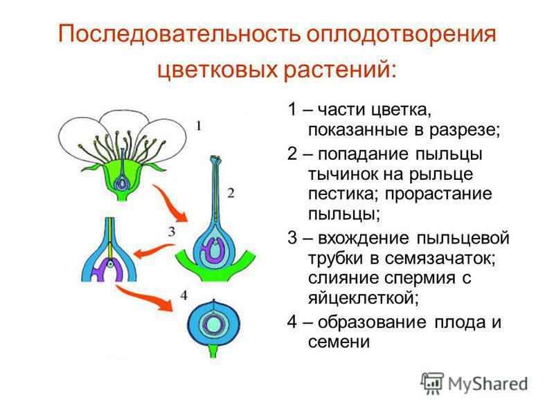 Последовательность оплодотворения цветковых растений: 1 – части цветка, показанные в разрезе; 2 – попадание пыльцы тычинок на рыльце пестика; прорастание пыльцы; 3 – вхождение пыльцевой трубки в семязачаток; слияние спермия с яйцеклеткой; 4 – образов