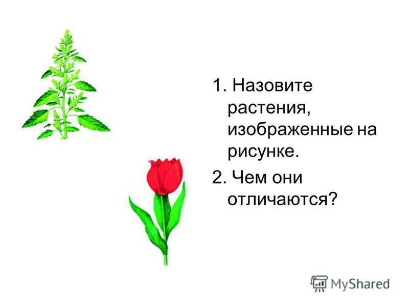 1. Назовите растения, изображенные на рисунке. 2. Чем они отличаются?